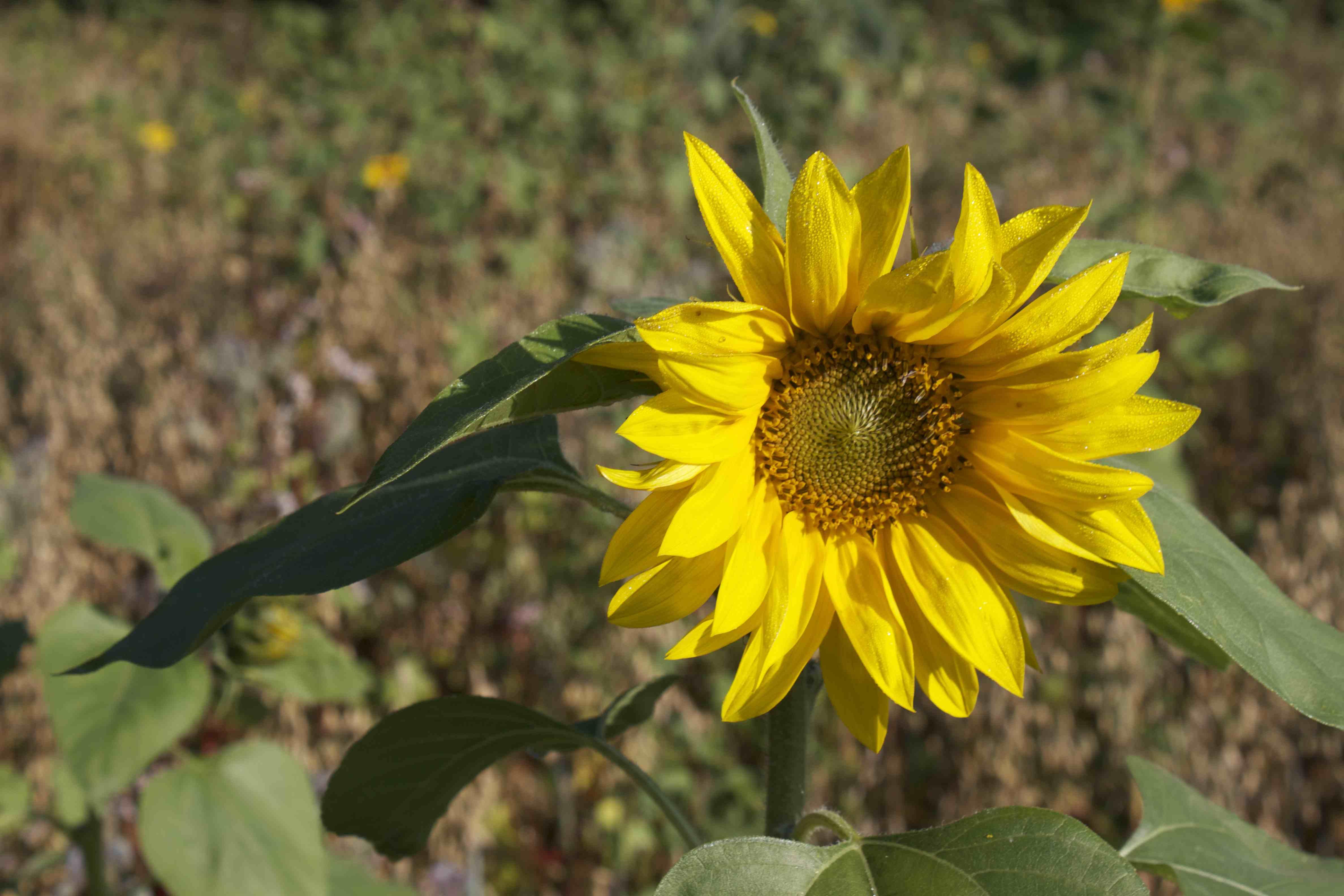 Sunflower Franzi1