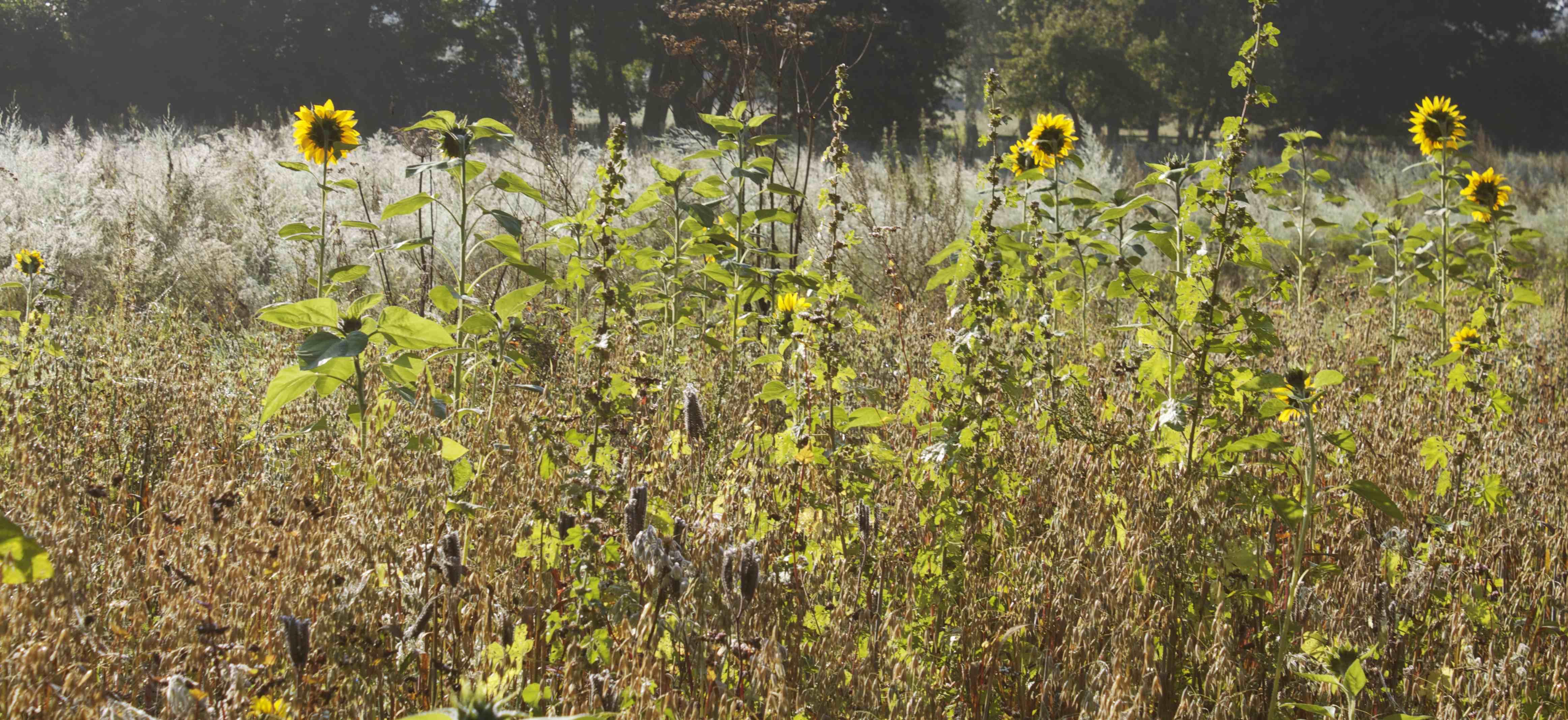 Sunflower Franzi2
