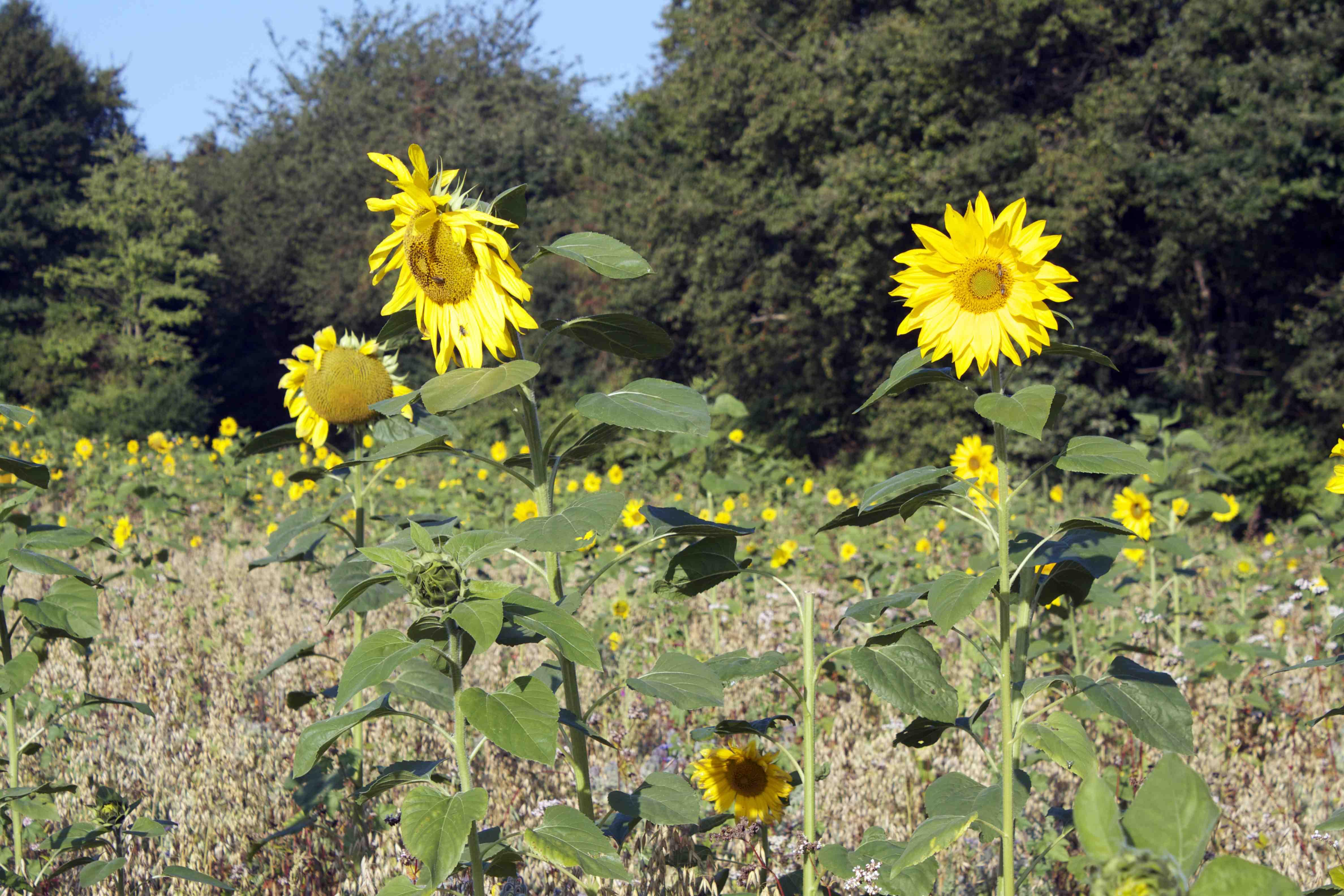 Sunflower Franzi3
